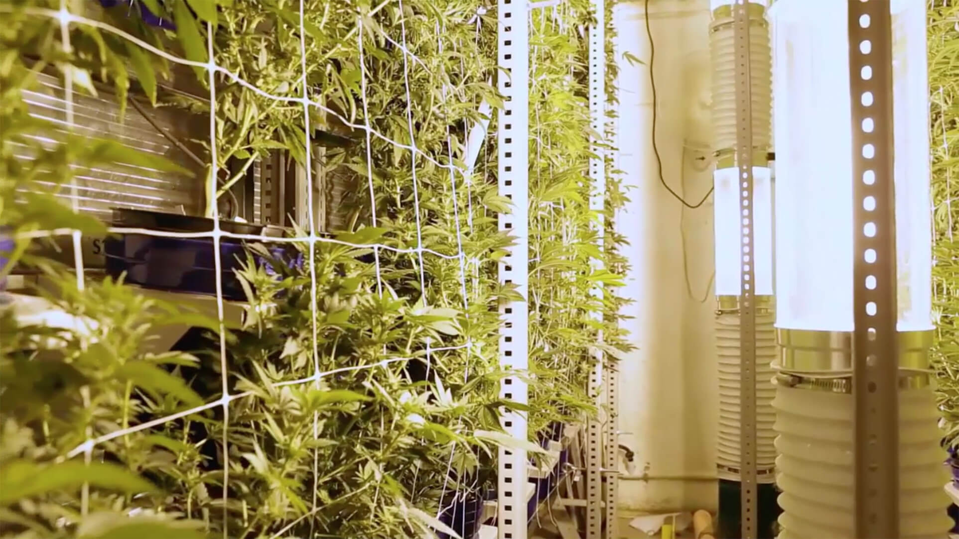 Vertical growing of cannabis on mobile racking with grow lights for uniform access at Colorado Cannabis Operation