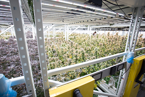 Case Study: Commercial Grow Room Setup