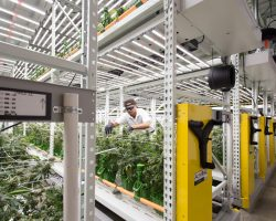 high-yield indoor cannabis grow facility