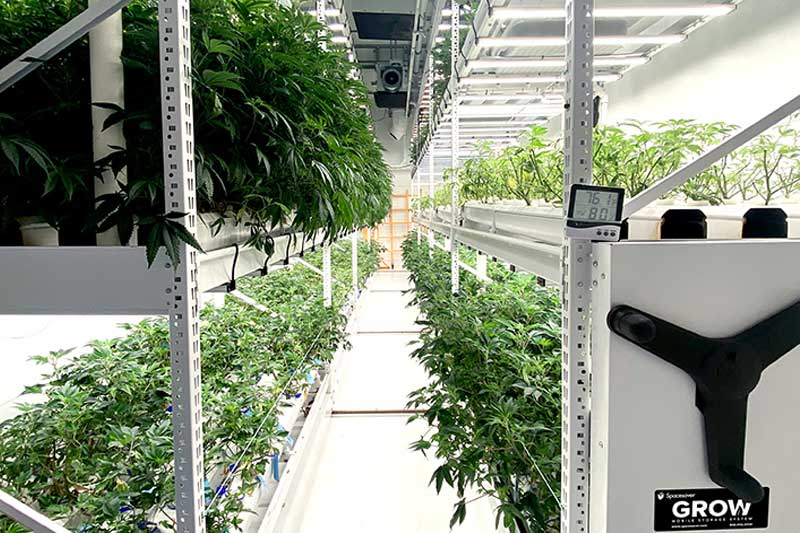 vertical cannabis grow room
