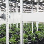 vertical grow rack system commercial cannabis