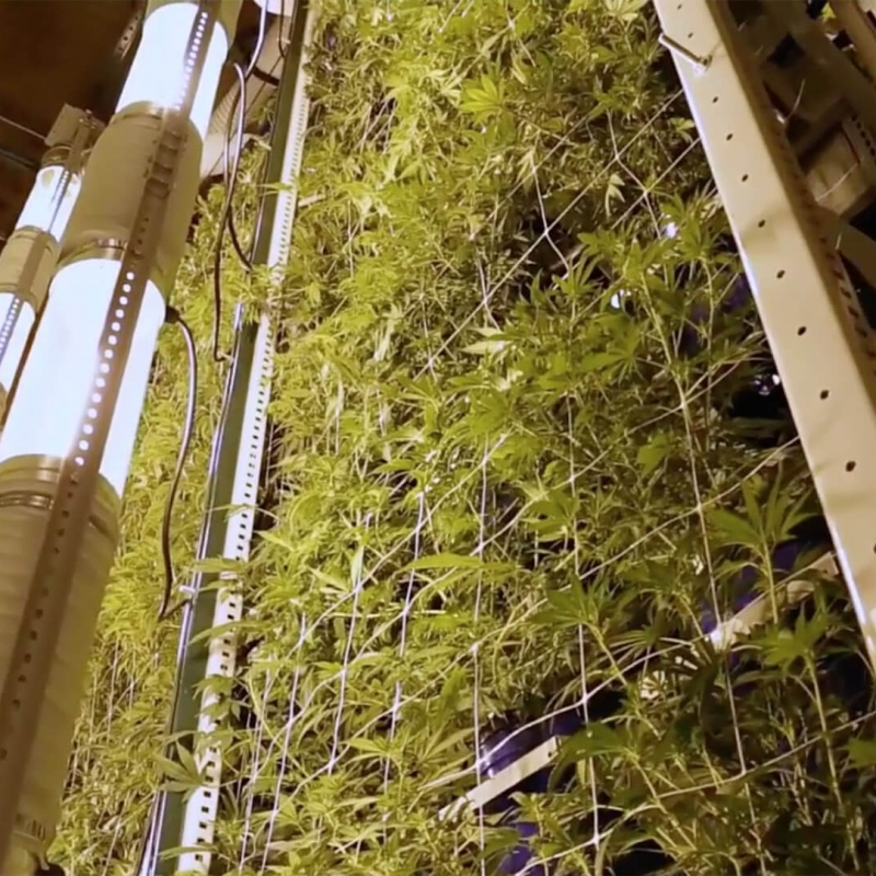Cannabis vertically growing on compact storage systems at Colorado Cannabis Operation